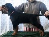 Собаки, щенки Сеттер-гордон, цена 7500 Грн., Фото