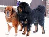 Собаки, щенки Тибетский мастиф, цена 50000 Грн., Фото