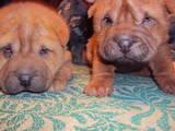 Собаки, щенки Шарпей, цена 1500 Грн., Фото