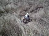 Собаки, щенки Жесткошерстный фокстерьер, цена 2000 Грн., Фото