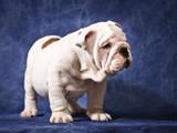 Собаки, щенки Английский бульдог, цена 30000 Грн., Фото