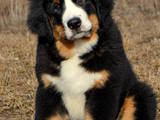 Собаки, щенята Гірський собака Берна, ціна 12000 Грн., Фото