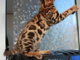 Кошки, котята Бенгальская, цена 19000 Грн., Фото