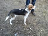 Собаки, щенки Эстонская гончая, цена 2000 Грн., Фото