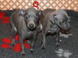 Собаки, щенята Левретка, ціна 30000 Грн., Фото