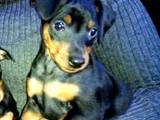 Собаки, щенята Пінчер, ціна 4000 Грн., Фото