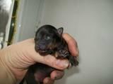 Собаки, щенки Русский гладкошерстный тойтерьер, цена 8000 Грн., Фото