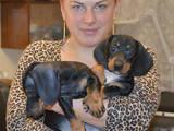 Собаки, щенки Гладкошерстная такса, цена 1000 Грн., Фото