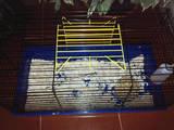 Гризуни Морські свинки, ціна 375 Грн., Фото