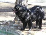 Собаки, щенки Ньюфаундленд, цена 6500 Грн., Фото