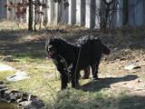 Собаки, щенята Ньюфаундленд, ціна 6500 Грн., Фото