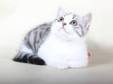 Кішки, кошенята Шотландська висловуха, ціна 4500 Грн., Фото