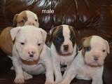 Собаки, щенки Американский бульдог, цена 13000 Грн., Фото