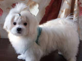 Собаки, щенята Мальтійська болонка, ціна 18500 Грн., Фото