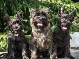 Собаки, щенята Кернтерьер, ціна 15000 Грн., Фото