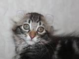 Кошки, котята Американский керл, цена 7500 Грн., Фото