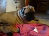 Собаки, щенята Бульмастиф, ціна 13500 Грн., Фото