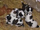 Собаки, щенки Московская сторожевая, цена 2000 Грн., Фото