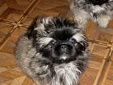 Собаки, щенята Пекінес, ціна 1000 Грн., Фото