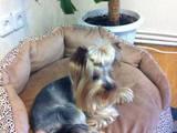 Собаки, щенята Йоркширський тер'єр, ціна 150 Грн., Фото