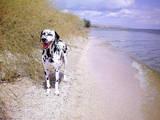 Собаки, щенки Далматин, цена 2000 Грн., Фото