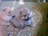 Собаки, щенята Карликовий шпіц, ціна 8000 Грн., Фото
