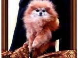 Собаки, щенки Померанский шпиц, цена 9000 Грн., Фото