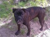 Собаки, щенята Боксер, ціна 3555 Грн., Фото