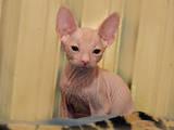 Кішки, кошенята Донський сфінкс, ціна 4600 Грн., Фото