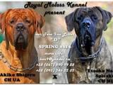 Собаки, щенята Японський мастиф (Тоса-іну), ціна 35000 Грн., Фото