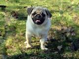 Собаки, щенки Мопс, цена 5500 Грн., Фото