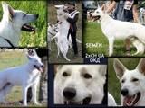Собаки, щенки Немецкая овчарка, цена 15000 Грн., Фото