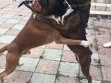 Собаки, щенята Боксер, ціна 10 Грн., Фото