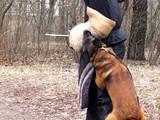 Собаки, щенки Занятия, тренировки, цена 70 Грн., Фото