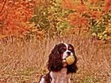 Собаки, щенята Кавалер-кинг-чарльз спаніель, ціна 37000 Грн., Фото