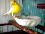 Попугаи и птицы Канарейки, цена 800 Грн., Фото