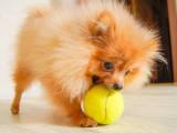 Собаки, щенята Померанський шпіц, ціна 12500 Грн., Фото
