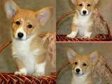 Собаки, щенята Вельш коргі пемброк, ціна 15000 Грн., Фото