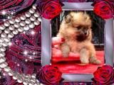 Собаки, щенки Померанский шпиц, цена 16000 Грн., Фото