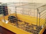 Гризуни Морські свинки, ціна 650 Грн., Фото