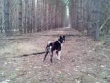 Собаки, щенки Русско-Европейская лайка, цена 5000 Грн., Фото