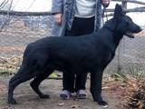 Собаки, щенки Восточно-Европейская овчарка, цена 6000 Грн., Фото