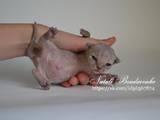 Кішки, кошенята Девон-рекс, ціна 5000 Грн., Фото