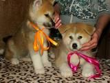 Собаки, щенята Акіта-іну, ціна 12000 Грн., Фото