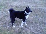 Собаки, щенята Російсько-Європейська лайка, Фото