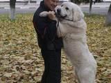 Собаки, щенки Польская подхаланская овчарка, цена 5000 Грн., Фото