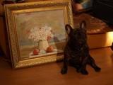 Собаки, щенята Французький бульдог, Фото