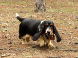 Собаки, щенята Бассет, ціна 15000 Грн., Фото