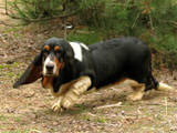 Собаки, щенки Бассет, цена 15000 Грн., Фото