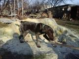 Собаки, щенята Німецька гладкошерста лягава, ціна 1000 Грн., Фото